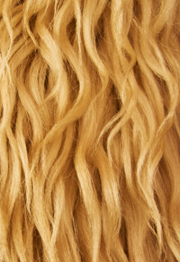 Raw Locks of Golden Wool Fleece Containing Raw Lanolin