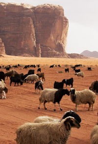 Sheep in Desert Bad Lands