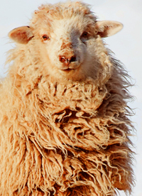 Sheep in Snow Showing Matted Fleece on Neck Coated With Lanolin